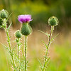 Thistle in a meadow
