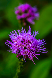 Wild Flowers, Liatris