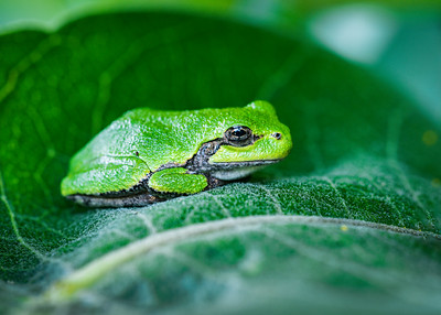 Amphibians, Tree Frog