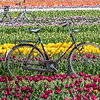 Bicycles in a Field of Tulips 4/26/18