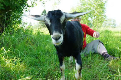 Goat getting away from owner