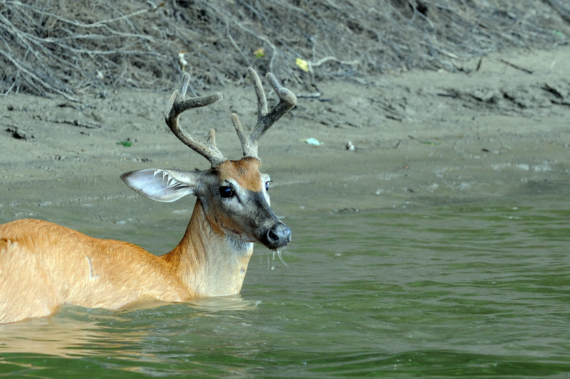 A buck crosses the Wabash River in Northern Vigo County.  August 2014