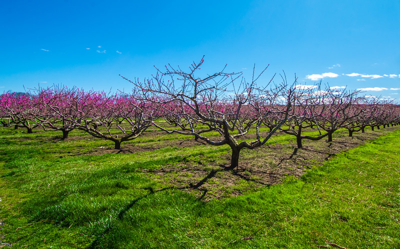 Apple Orchard Blossoms 4/3/16
