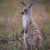 Baby Eastern Gray Kangaroo