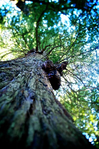 ETC2521  Giant Redwood  sf DSC_9271