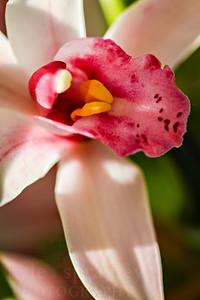 Orchid at the Missouri Botanical Garden in St. Louis.  Photo by Kyle Spradley | www.kspradleyphoto.com