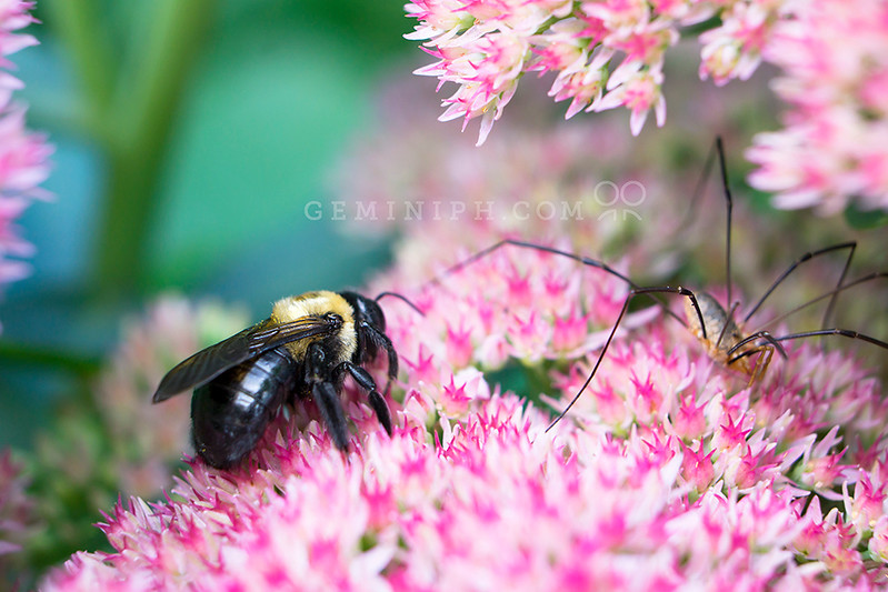 Macro shot of bumblebee and daddy long legs on a Pink Yarrow Plant.