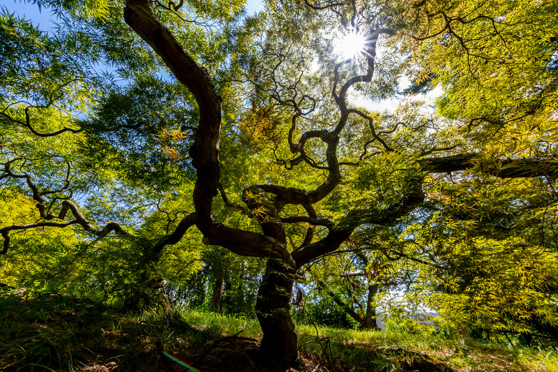 Japanese Maple Tree 8/9/19