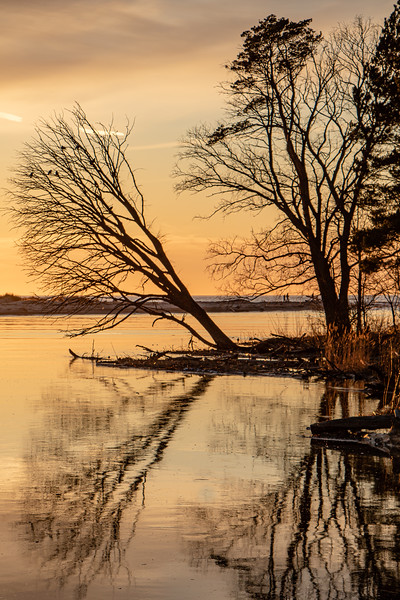 a tree bent over the river Gauja at sunset in Latvia
