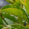Rain Droplets on a Leaf 5/22/16