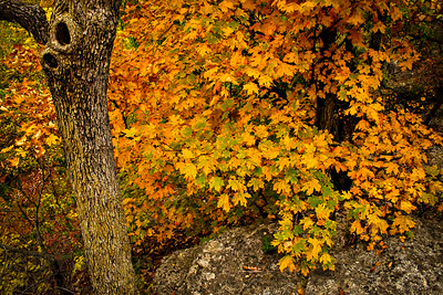 Maple trees in full fall color in Missouri at the Pinnacles Youth Conservation Area in Columbia.  Photo by Kyle Spradley | www.kspradleyphoto.com