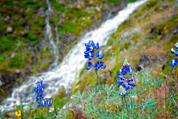 Lupins - Table Mountain-2
