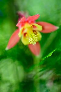 Columbine flower Macro