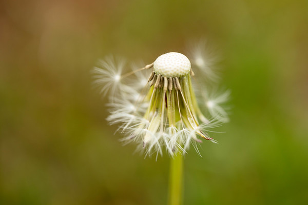 Love's Oracle…Dandelion in Season