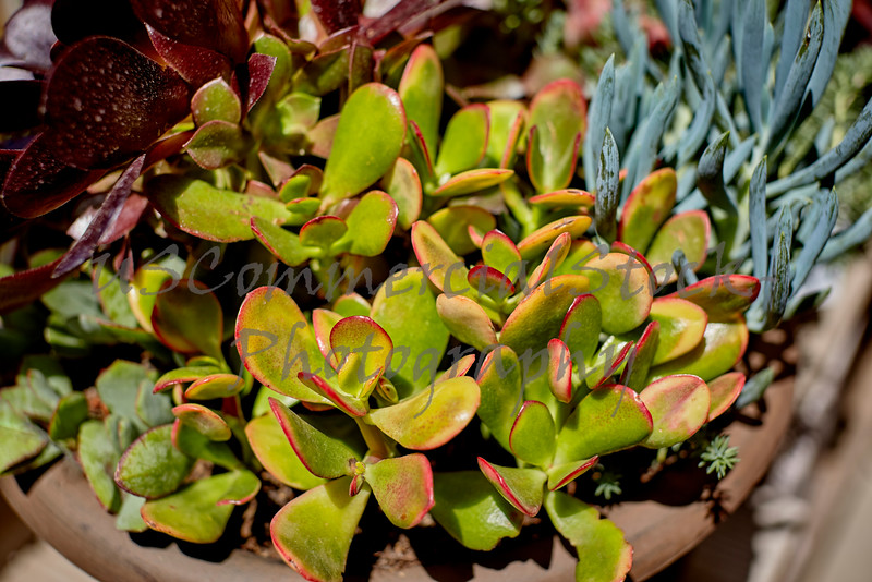 Succulent Plants growing in a Pot