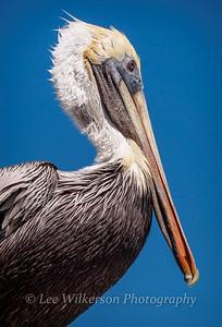 Brown Pelican Portrait #1