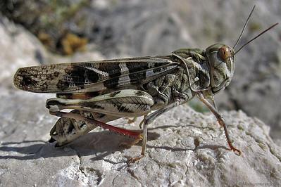 Italienische Schönschrecke - Calliptamus italicus @ Pag Croatia 4Aug12