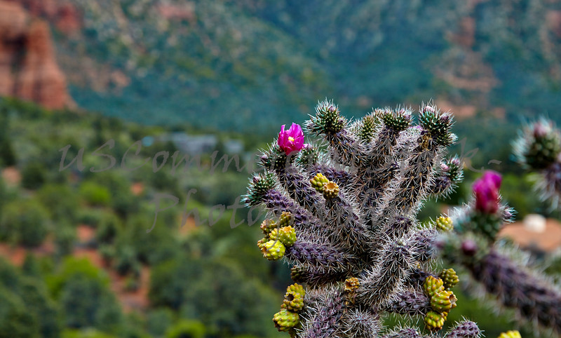 Blooming Cactus in the Desert