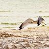 Seagull on Sanibel Island, Florida