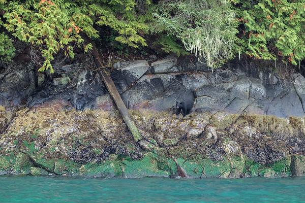 Knight Inlet Black Bear