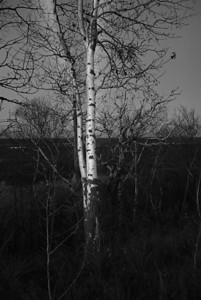 Silver Birch