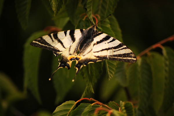The zebra butterfly