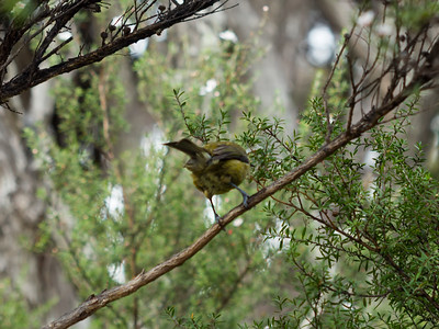 New Zealand Bellbird - Korimako - Rear = [