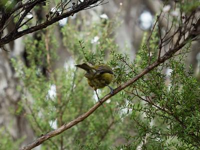 New Zealand Bellbird - Korimako - Rear = [