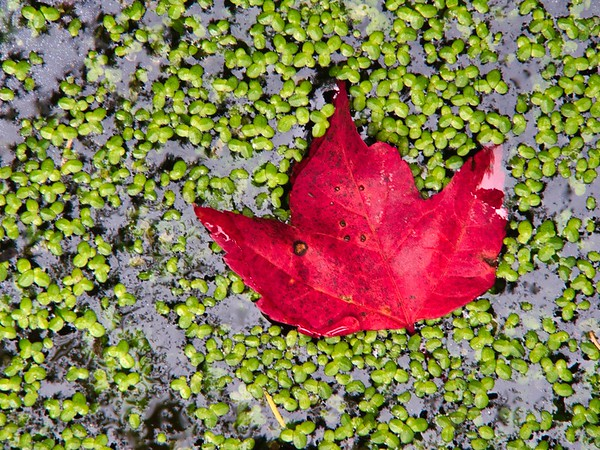 Automn maple leaf afloat