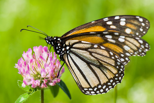 Monarch on Red Clover (Trifolium pratense), Waterbury, VT