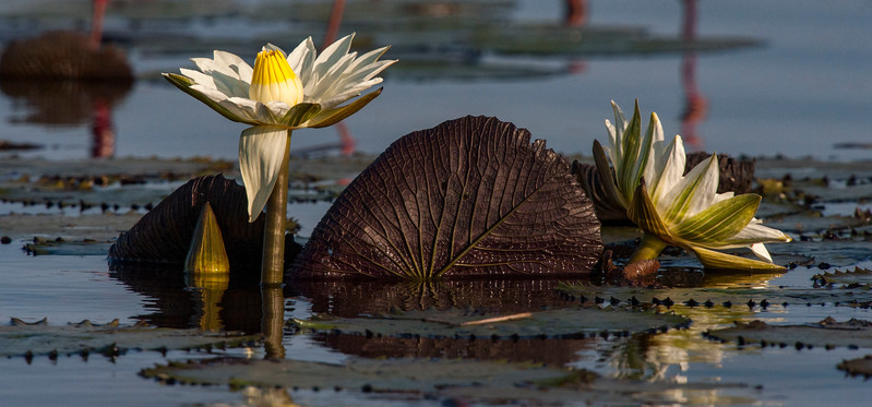 Lily Pad Beauty #1