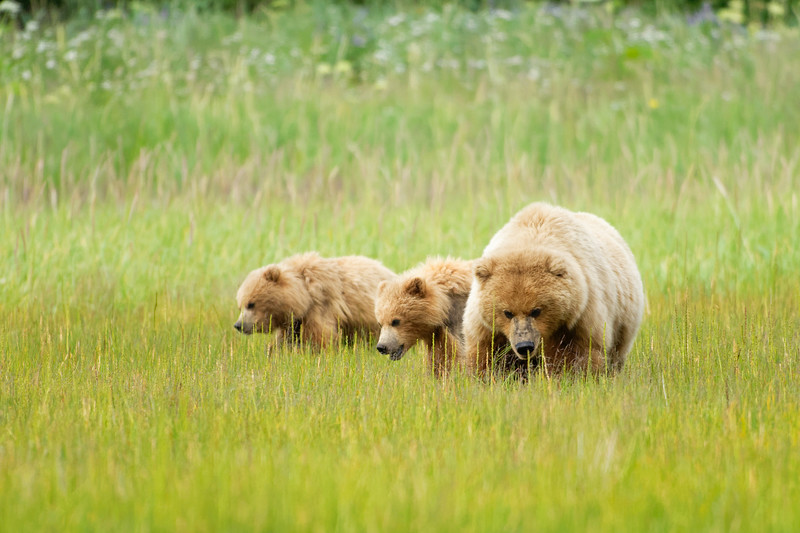Alaska Coastal Bears at Lake Clark National Park, Alaska