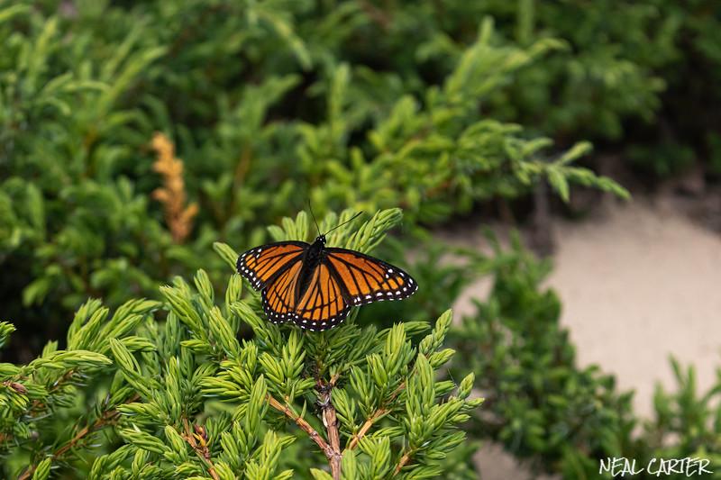 Beaver Island Monarch