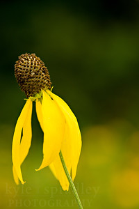 Gray-headed coneflower.  Photo by Kyle Spradley | © Kyle Spradley Photography | www.kspradleyphoto.com