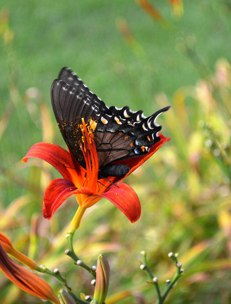 Monarch butterfly finds nectar in a lily
