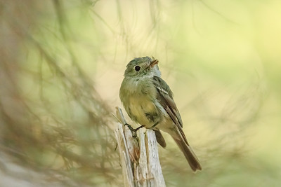 Hammond's Flycatcher with a Fly