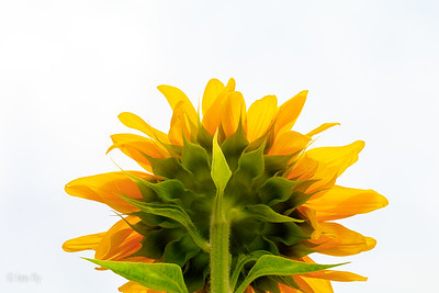 sunflower sunday
