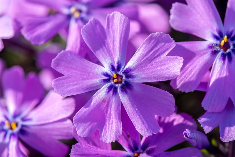 Creeping Phlox Flowers 4/17/16