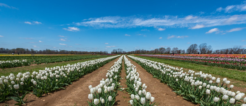 A Field of Tulips 4/26/18
