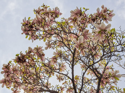 first spring pink flowers on a tree
