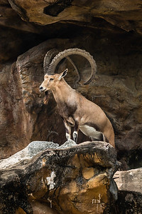 Mountain goat