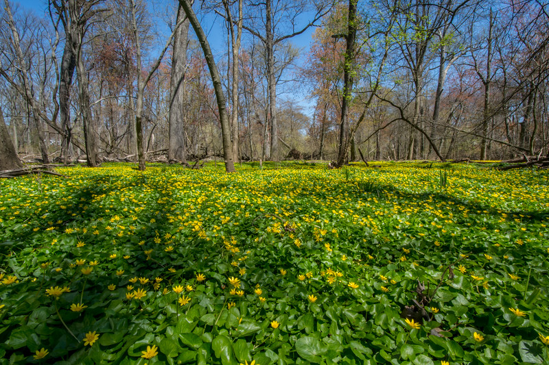 Wild Flowers in the Forest 4/15/16