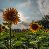 Sunburst Over a Sunflower Field 9/2/18