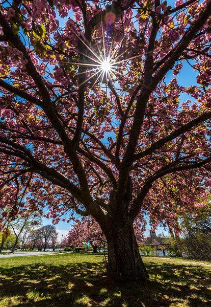 Sun Flare Through Cherry Blossoms in Spring Lake 5/8/18