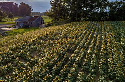 Farmhouse and Sunflower Field 9/2/18