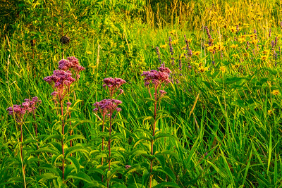 Wild Flowers, Milkweed