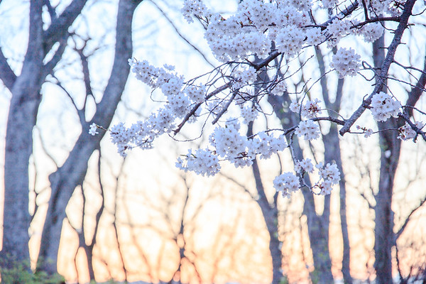 Cherry Blossoming Dusk