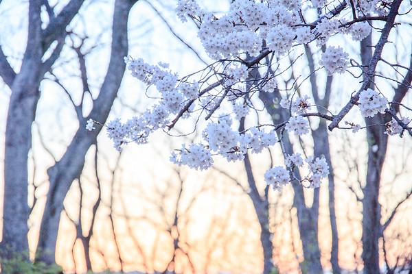 Cherry Blossoming Dusk