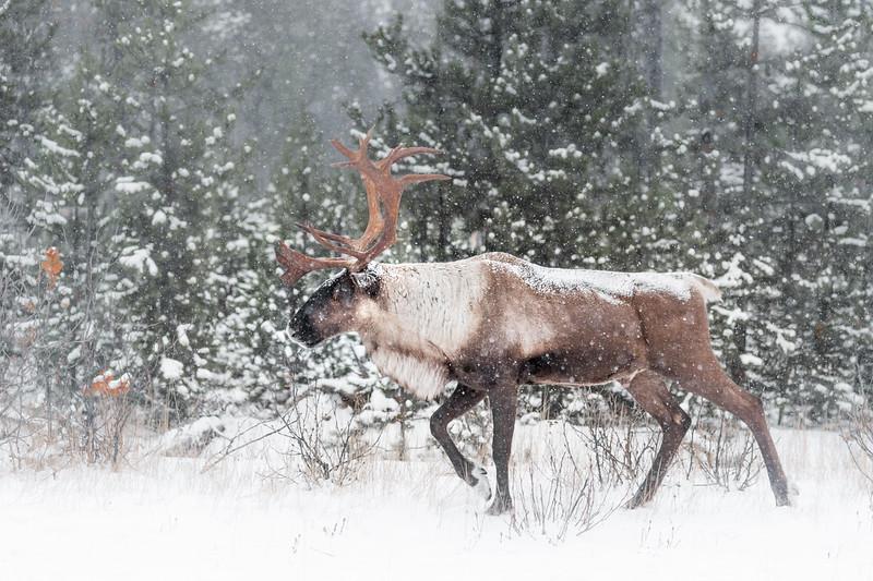 Blizzard Caribou