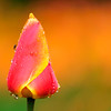 Tulip Dew